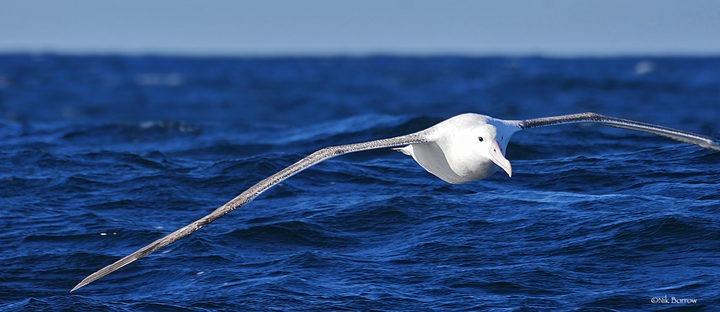 Albatross good luck do not kill the albatross