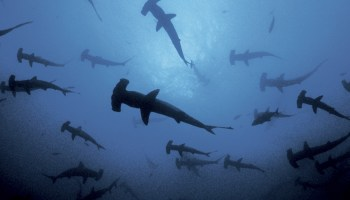 Sharks following a ship is bad luck
