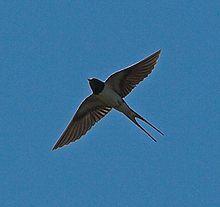 Swallows near a ship is good luck
